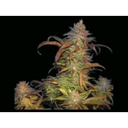 BURUANDI BLOCK HEAD * GENEHTIK SEEDS 5 SEMI REG