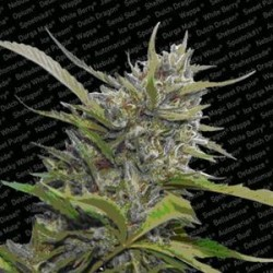 AUTO WHITE BERRY * PARADISE SEEDS FEMINIZED  3 SEMI