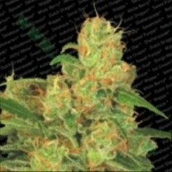 AUTO ACID * PARADISE SEEDS FEMINIZED  3 SEMI