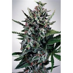 AUTO SILVER BULLET * MINISTRY SEEDS  5 SEMI FEM