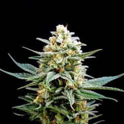 CRITICAL * BIOLOGICAL SEEDS 1 SEME FEM