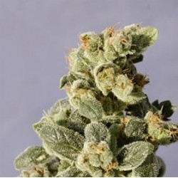 AUTO NORTHERN LIGHTS * BIOLOGICAL SEEDS 1 SEME