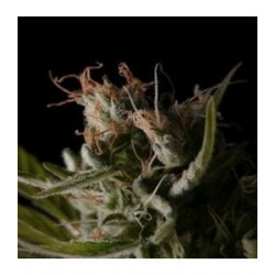 STICKY WONDER * BCN SEEDS   1 SEME FEM