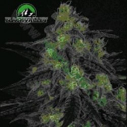 BLACKVALLEY * RIPPER SEEDS   3 SEMI FEM