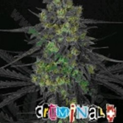 CRIMINAL * RIPPER SEEDS   5 SEMI FEM