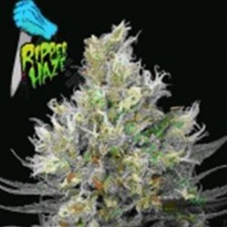 RIPPER HAZE * RIPPER SEEDS   5 SEMI FEM