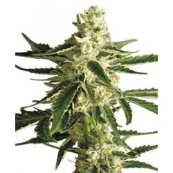 WHITE DIESEL HAZE AUTOMATIC * WHITE LABEL SENSI  3 SEMI FEM