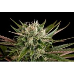 BLUE CHEESE * DINAFEM SEEDS  5 SEMI FEM