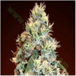 AUTO JACK HERER * ADVANCED SEEDS   1 SEME FEM
