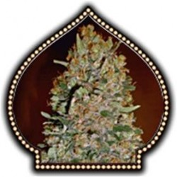AUTOFLORACION  COLLECTION #1 * 00SEEDS  6 SEMI FEM