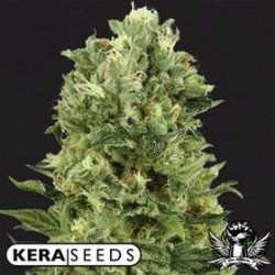 WHITE THUNDER * KERA SEEDS 10 SEMI FEM