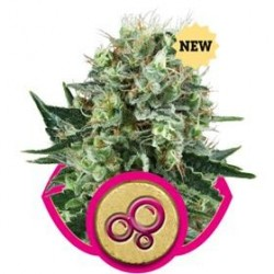 BUBBLE KUSH * ROYAL QUEEN SEEDS   1 SEME FEM