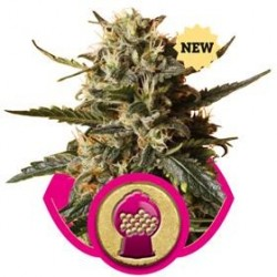 BUBBLE GUM XL * ROYAL QUEEN SEEDS   5 SEMI FEM
