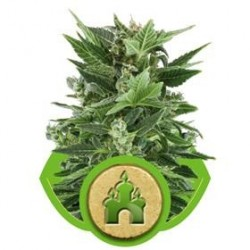 ROYAL KUSH AUTOMATIC * ROYAL QUEEN SEEDS 5 SEMI FEM