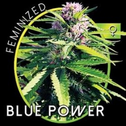 BLUE POWER* VISION SEEDS 5 SEMI FEM