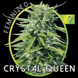 CRYSTAL QUEEN* VISION SEEDS 10 SEMI FEM