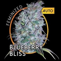 BLUEBERRY BLISS  AUTO * VISION SEEDS 10 SEMI FEM