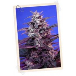 AUTO BLOODY SKUNK * SWEET SEEDS RED FAMILY  FEMINIZED   5 SEMI