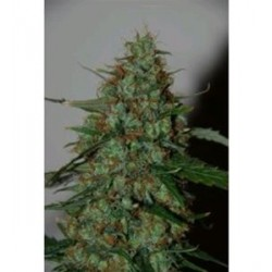 WILD THAILAND  RYDER AUTO * WORLD OF SEEDS   7 SEMI FEM