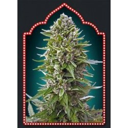 AUTOFLORACION  COLLECTION #2 * 00SEEDS  6 SEMI FEM