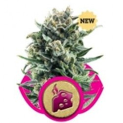 BLUE CHEESE * ROYAL QUEEN SEEDS   5 SEMI FEM