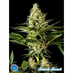 BLACK BOMB *CLASSIC  LINE  PHILOSOPHER SEEDS   5 SEMI FEM
