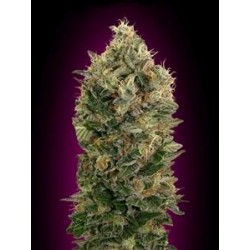 AUTO BLACK DIESEL * ADVANCED SEEDS   3 SEME FEM