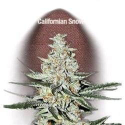 CALIFORNIAN SNOW * FAST BUDS SEEDS  3 SEMI FEM