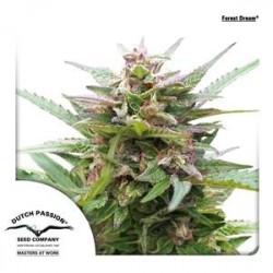 FOREST DREAM ® * DUTCH PASSION 5 SEMI FEM