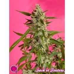 FRUITY JACK (EX JACK EL FRUTERO) * GOLO LINE PHILOSOPHER SEEDS 1 SEME FEM