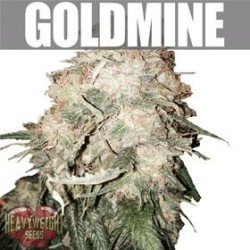 GOLD MINE  * HEAVYWEIGHT SEEDS   3 SEMI FEM
