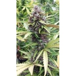 PURPLE RYDER AUTO * SEEDSMAN  1 SEME FEM