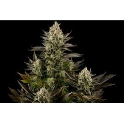 WHITE WIDOW * DINAFEM SEEDS  3 SEMI FEM