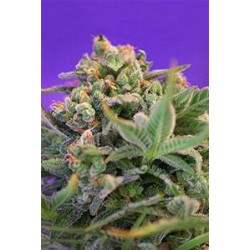 SWEET CHEESE F1 FAST VERSION* SWEET SEEDS FEMINIZED 100 SEMI