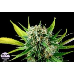 ROYALE HAZE * DINAFEM SEEDS  5 SEMI FEM