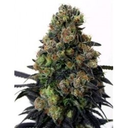 ACID DOUGH * RIPPER SEEDS   5 SEMI FEM
