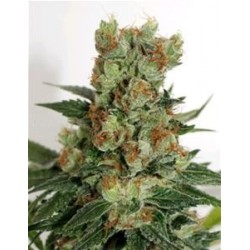 FUEL OG * RIPPER SEEDS   3 SEMI FEM