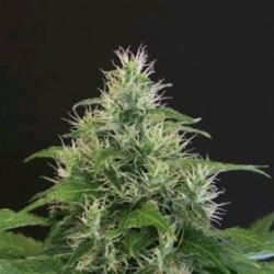 LEMON CANDY * EXOTIC SEEDS 3 SEMI FEM