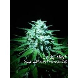 LADY MINT * GURU PLANT GENETIK 6 SEMI FEM