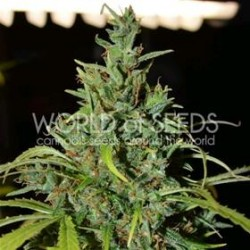 NEVILLE HAZE  AUTO * WORLD OF SEEDS   3 SEMI FEM
