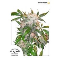 WHITE WIDOW ® * DUTCH PASSION 10 SEMI REG