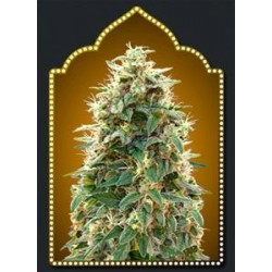 FEMINIZED COLLECTION #3* 00SEEDS  6 SEMI FEM
