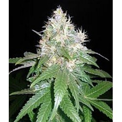 NORTHERN LIGHT BLUE * DELICIOUS SEEDS INDICA 3 SEMI FEM