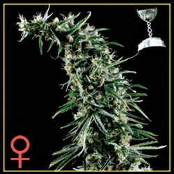 HAWAIIAN SNOW * GREEN HOUSE FEMINIZED 10 SEMI