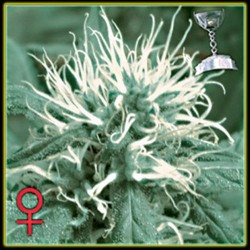 THE CHEESE * GREEN HOUSE FEMINIZED 10 SEMI