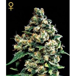 JACK HERER * GREEN HOUSE FEMINIZED   5 SEMI