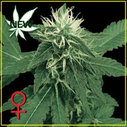 K-TRAIN * GREEN HOUSE FEMINIZED   5 SEMI