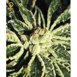 KAIA KUSH * GREEN HOUSE FEMINIZED   5 SEMI