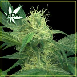KINGS KUSH * GREEN HOUSE FEMINIZED   5 SEMI