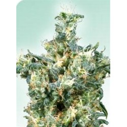 AMERICAN DREAM® * SENSI SEEDS 10 SEMI REG